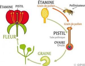 ob_a59a9a_pollinisationschemabis